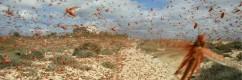 sciame locuste